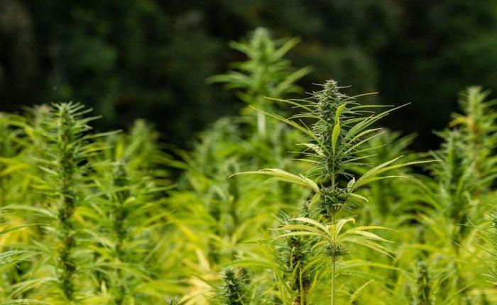 Tipos de marihuanas