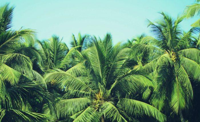 Tipos de palmeras